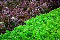 Lettuce 'Green Salad Bowl' and 'Merveille des Quatre Saisons' - Marvel of Four Seasons. Lactuca sativa