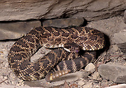 Southern Pacific Rattlesnake, Crotalus viridis helleri, USA, venomous pitviper subspecies found in southwestern California and south into Baja California, Mexico