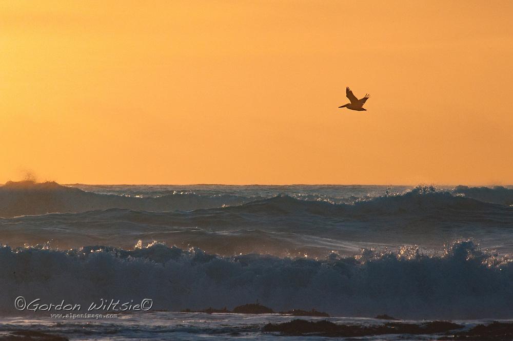 Pelicans fly over surf waves along the Pacific Ocean coast of California near Half Moon Bay.