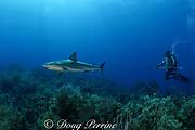 Caribbean reef shark, Carcharhinus perezi, and scuba diver on coral reef, Bahamas (W. Atlantic) Bahamas ( Western Atlantic Ocean )