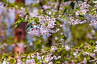 Norway, Rogaland Arboretum. Cherry tree.