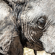 The side of an adult elephant's face at Tarangire National Park in northern Tanzania not far from Ngorongoro Crater and the Serengeti.