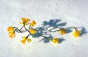 Yellow daffodils in the snow.  St Paul Minnesota USA