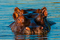 Two hippos peering above the water in a pond near Kwara Camp, Okavango Delta, Botswana.