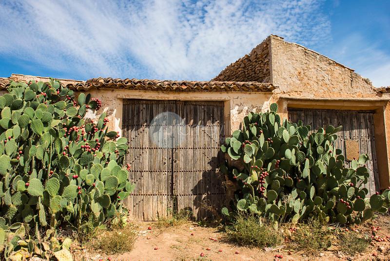 Chumberas con higos chumbos (Opuntia ficus-indica). Alpera. Albacete ©Antonio Real Hurtado / PILAR REVILLA