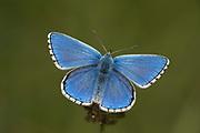 Adonis Blue Butterfly, Polyommatus bellargus, Male, Lydden Temple Ewell Reserve, Kent UK, Kent Wildlife Trust, underside of wings on birdsfoot trefoil flower