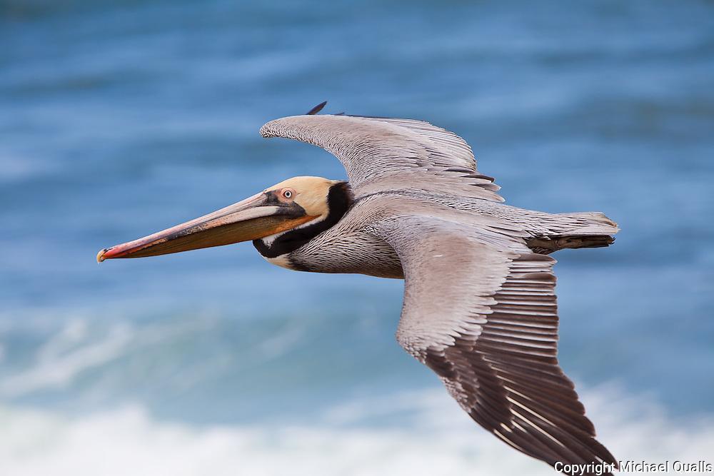 A brown pelican in flight just off the coast at La Jolla.