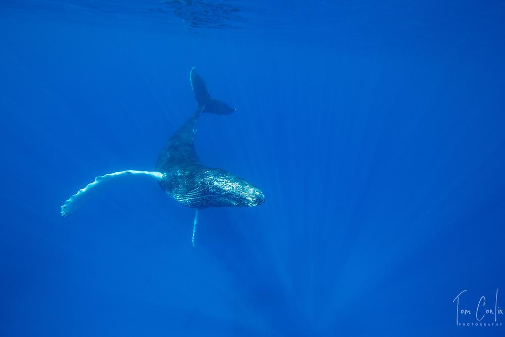 humpback whale ~ Megaptera novaeangliae ~ adult ~ Silver Bank, Dominican Republic ~ www.aquaticadventures.com