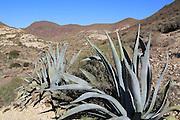 Agave americana cactus plant planted in Cabo de Gata natural park, Almeria, Spain