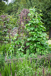 Runner bean 'White Lady' trained up silver birch climbing frames