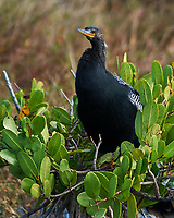 Anhinga (Anhinga anhinga). Black Point Wildlife Drive, Merritt Island Wildlife Refuge. Merritt Island, Brevard County, Florida. Image taken with a Nikon D3 camera and 80-400 mm VR lens.