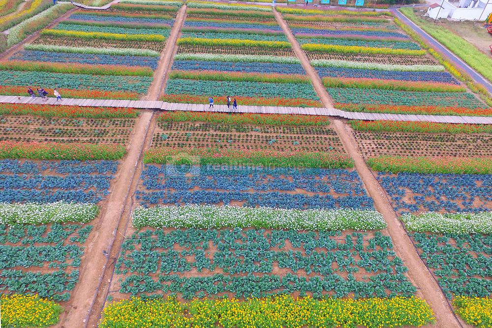 November 3, 2018 - Nanjing, Nanjing, China - Nanjing,CHINA-Chrysanthemum flowers blossom in Nanjing, east China's Jiangsu Province. (Credit Image: © SIPA Asia via ZUMA Wire)
