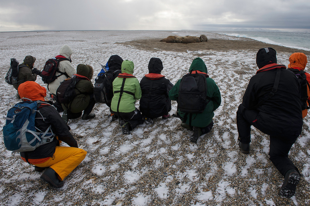 Polar Quest travel group keeping low positions and respectful distance to the Walrus on the beah, Torellodden, Svalbard, Norway, Arctic