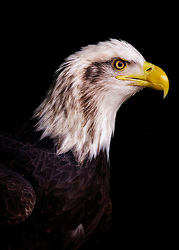 A Bald Eagle's Majesty Shines From The Shadows