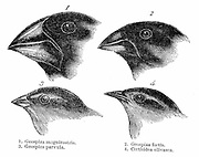 Darwin's Finches. Four or the species of finch observed by Darwin on the Galapagos Islands, showing variation of beak.The study of the flora of the Islands contributed to Charles Darwin's theory of evolution.