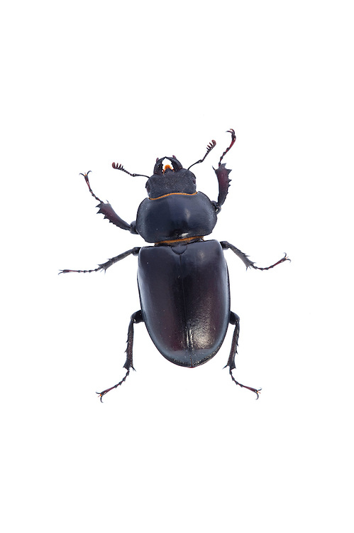 Female stag beetle, Lucanus cervus, Suffolk, England, Europe.