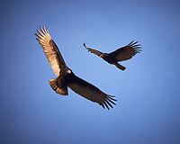 Turkey Vultures in flight. Image taken with a Nikon D4 camera and 80-400 mm VRII telephoto zoom lens (ISO 100, 400 mm, f/6.3, 1/400 sec).