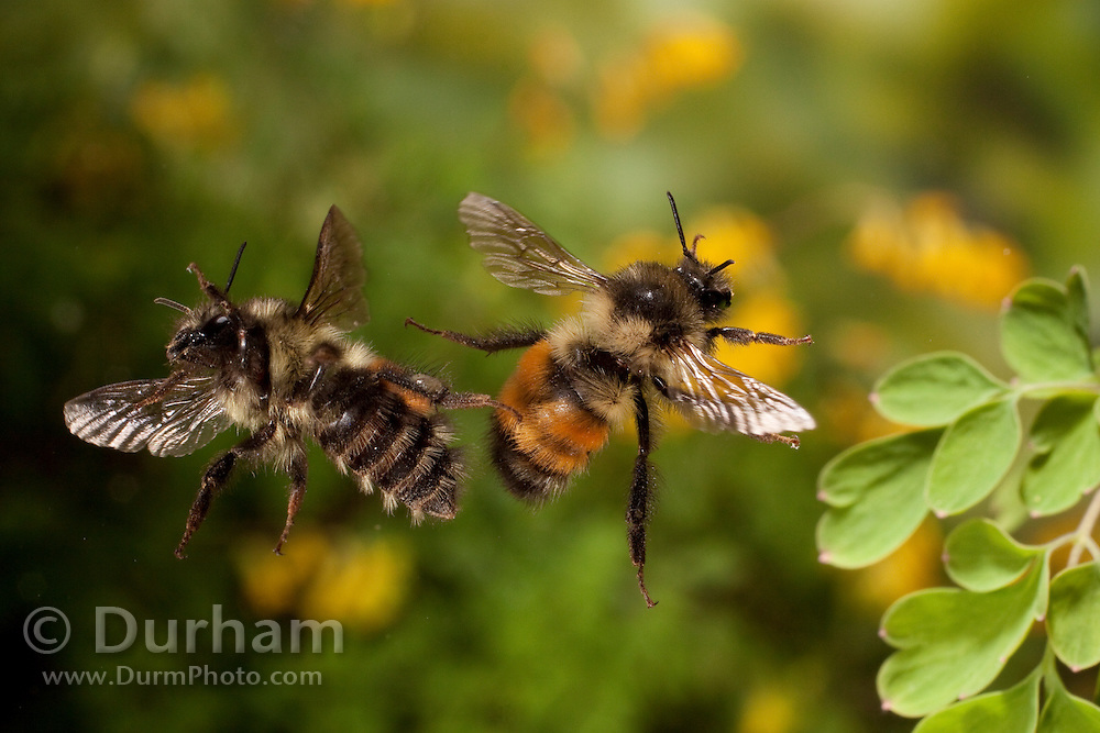 Two Bombus huntii - native bumble bees separating after a brief tussel. Photographed in Western Oregon.
