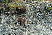 Brown bear spring cubs climb down a bluff along the lower lagoon at the McNeil River State Game Sanctuary on the Kenai Peninsula, Alaska. The remote site is accessed only with a special permit and is the world's largest seasonal population of brown bears in their natural environment.