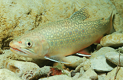 Salvelinus fontinalis, Bachsaibling, brook trout, Taugl, Oesterreich