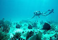 Kym Murphy, Director of The Living Seas, catching Gray Angelfish (Pomacanthus arcuatus) with hand-held monofilament nets. Florida Keys