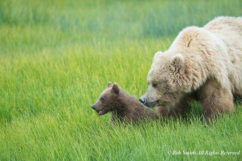 Coatal brown bears at Silver Salmon Creek Lodge, Lake Clark National Park, Alaska (20100722)
