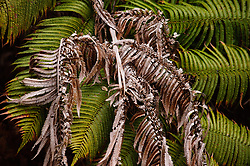 """The `ama`uma`u  or `ama`u for short, is a common fern found in the wet forests of Hawai`i Volcanoes National Park. The fern is a member of the Blechnum fern family and is endemic to Hawai`i. Halema`uma`u, the fire pit within Kilauea caldera, means """"the house of  `ama`uma`u fern.""""  This fern was photographed on a connector trail between the Byron Ledge and Devastation trails near the Kilauea caldera."""