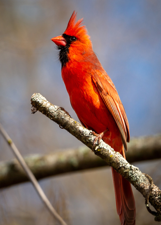 Cardinal perched in a tree off McCaffrey Drive, welcoming UW-Madison Arboretum visitors on a sunny spring day. Photo take April 28, 2020.