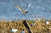 Sweden, Lake Hornborga. Black-headed Gull.
