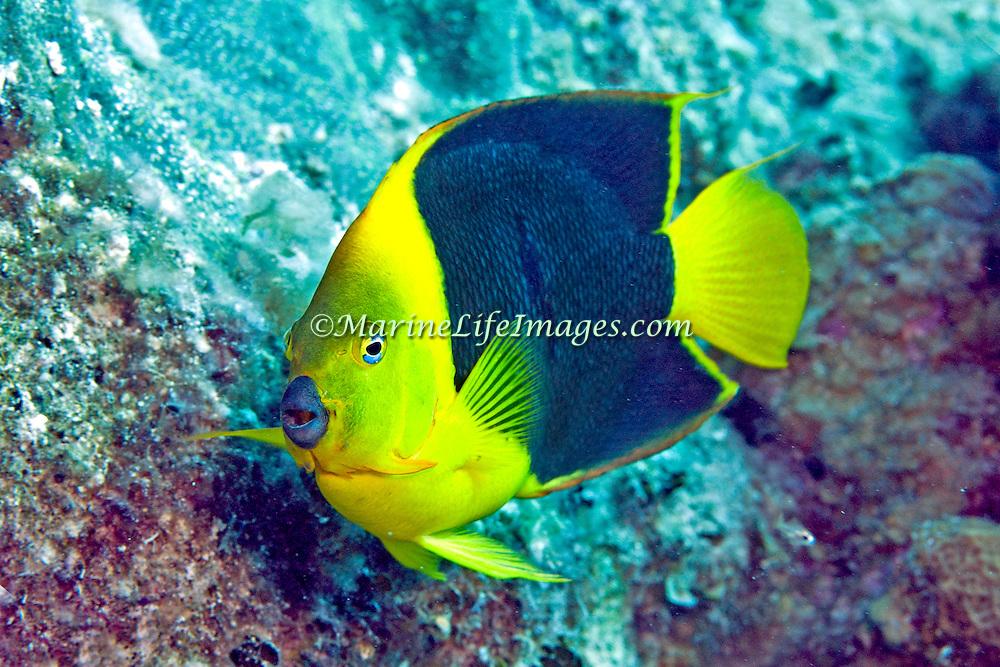 Queen Angelfish inhabit reefs and surrounding areas in Tropical West Atlantic; picture taken Gramd Turk.