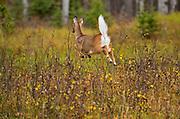 White-tailed deer (Odocoileus virginianus)<br />Prince Albert National Park<br />Saskatchewan<br />Canada