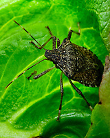 Stink Bug eating my lettuce. Image taken with a Fuji X-H1 camera and 80 mm f/2.8 macro lens (ISO 200, 80 mm, f/16, 1/30 sec).