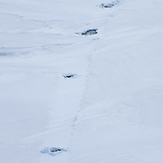 Ringed Seal (Pusa hispida) in the ice. This scene shows where a polar bear has enerred one of th holes in the foreground and then swam the the far hole, about 100 yards, at the top of the frame and reemerged .