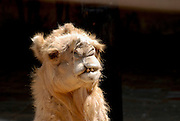 Close up of a head of a camel on black background facing camera