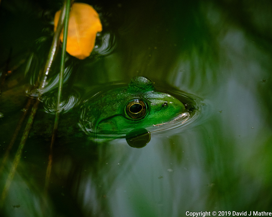 Kermit the Bullfrog in my Pond. Image taken with a Fuji X-T3 camera and 100-400 mm OIS lens.