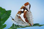Purple Emperor Butterfly, Apatura iris, UK, female, resting on oak leaf, side view of underside of wing