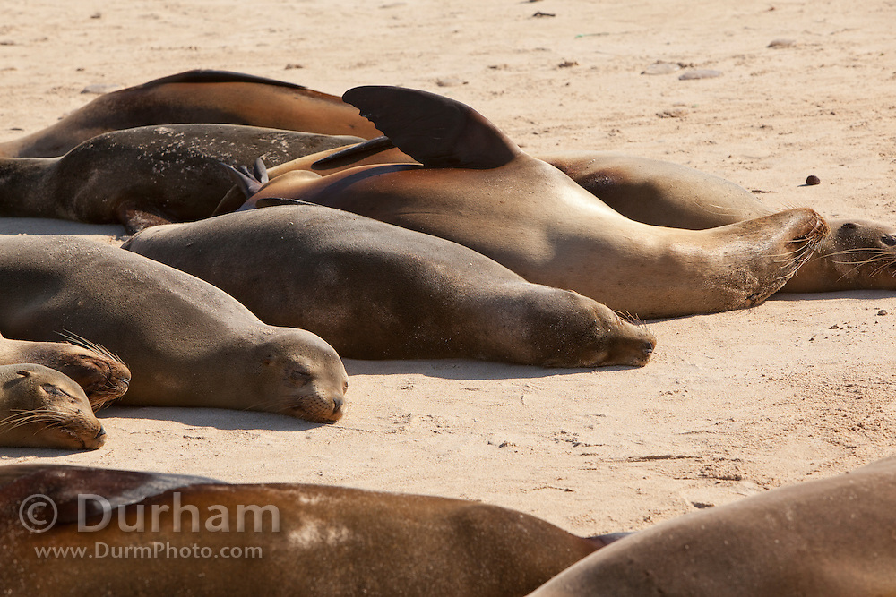 A galapagos sea lions (Zalophus californianus) resting on the beach of Santa Fe Island, Galapagos Archipelago - Ecuador.