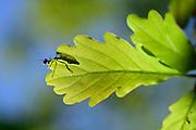 Robber fly or called assassin flies (Asilidae) on oak leaf. National Park Saxon Switzerland (Saechsische Schweiz). Europe, central Europe, Germany | Jagdfliege (Asilidae) auf Eichenblatt
