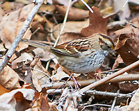 White-throated Sparrow (Zonotrichia albicollis). Image taken with a Nikon D300 camera and 70-200 mm f/2.8 VR lens.