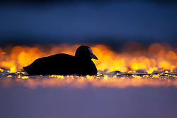 Black Coot (Fulica atra) in late evening, Oslo, Norway