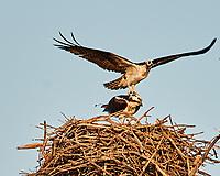 Osprey (Pandion haliaetus). Fort De Soto Park. Pinellas County, Florida. Image taken with a Nikon D300 camera and 600 mm f/4 VR lens.