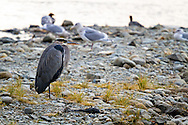 A Great Blue Heron resting by the Stave River during the Salmon run of 2011 in Mission, British Columbia, Canada