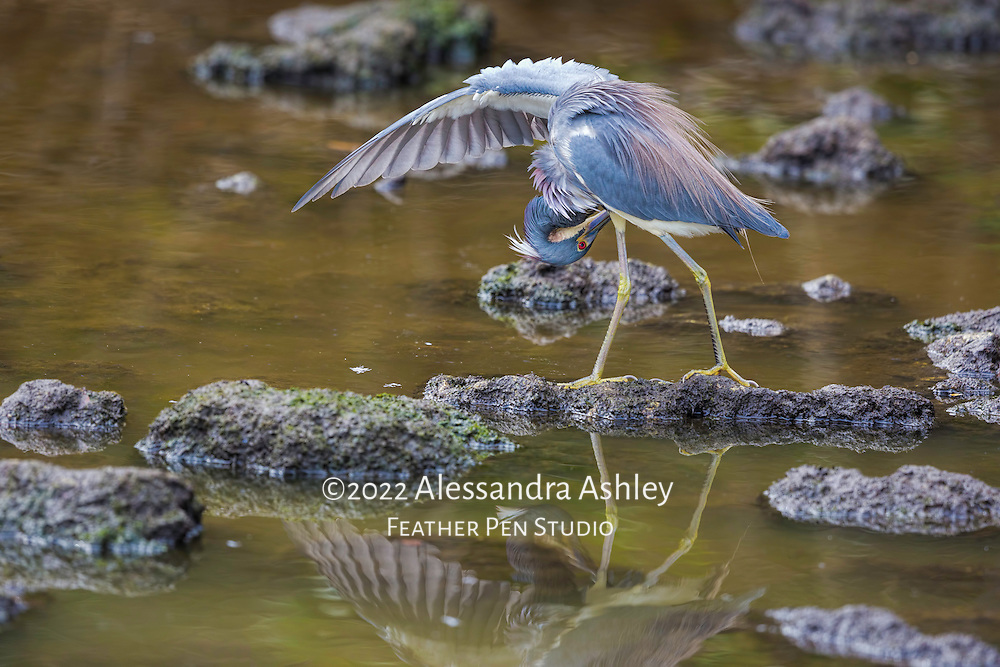 Tricolored heron reveals wing feathers while preening new spring plumage.