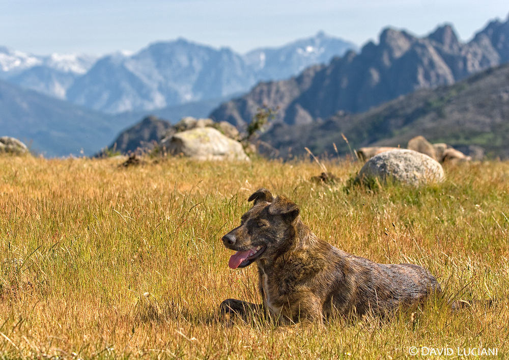 """""""Pietra"""", a corsican dog breed called Cursinu, posing on Col St. Georges (between Quasquara and Porticcio). """"Pietra"""", we named after the famous cosican beer, joined us as we were leaving the GR20 trail days ago. The cursinu <br /> went with us along Mare e Mare Centre for a couple of days and we realized later - as a lot of people were starring at us, - that these intelligent dogs are <br /> very appreciated in corsica."""