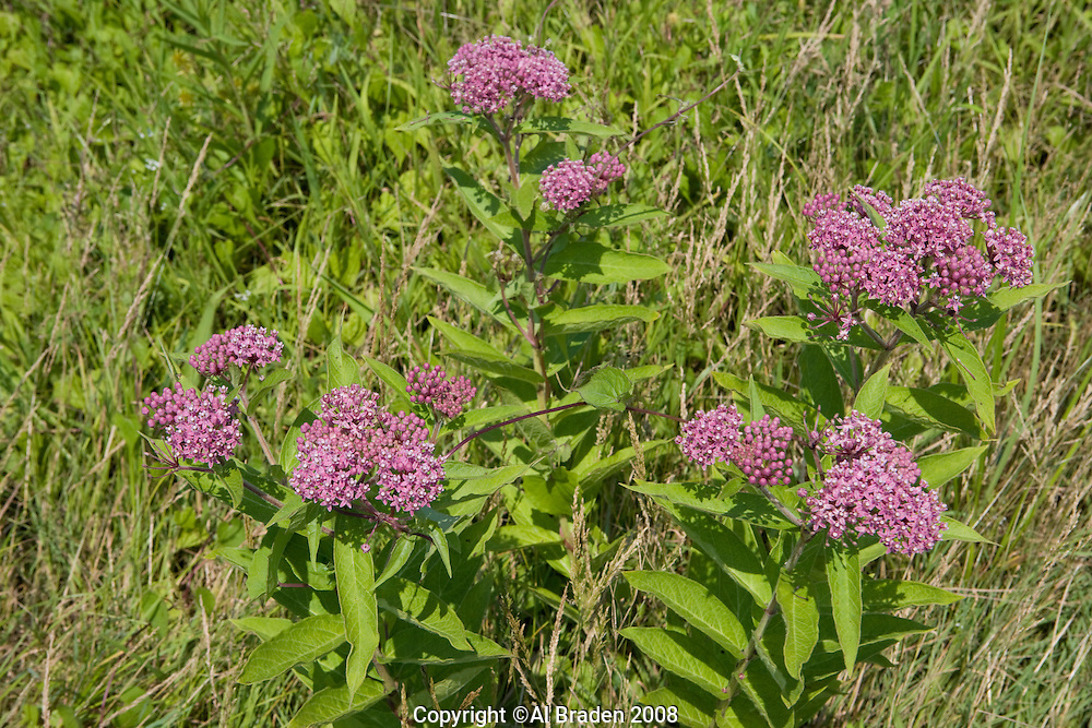 Milkweed at Lord Cove, Lyme, CT along the Connecticut River.