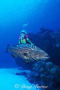 diver and black grouper, <br /> Mycteroperca bonaci,<br /> Cozumel, Mexico ( Caribbean Sea )<br /> MR 140 - MR 142