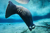 Florida manatee, Trichechus manatus latirostris, a subspecies of the West Indian manatee, endangered. Series of a mature adult male manatee with scars resting and warming himself over a large springhead. An adult male manatee stretches and rolls in a head down position, underside showing, while floating over a spring. Tranquil warm blue freshwater and rainbow sun rays enhance the peaceful scene  A mangrove snapper, Lutjanus griseus, swims below. Horizontal orientation with blue water and rainbow sun rays. Three Sisters Springs, Crystal River National Wildlife Refuge, Kings Bay, Crystal River, Citrus County, Florida USA.