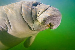 Florida manatee calf, showing tongue and coarse hair or wiskers, Trichechus manatus latirostris, endangered subspecies of the West Indian manatee, Kings Bay, Crystal River, Florida
