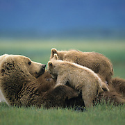 Alaskan Brown Bear (Ursus middendorffi) mother nursing two cubs. Alaskan Peninsula