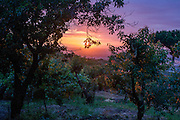 Boughs heavy with apricots, grapes, lemons and plums are tinged pink by the setting sun on land owned by Baldassare and Felicia De Simons in the village of Somma Vesuviana, in the Red (evacuation) Zone on the western slope of Vesvius, Somma, Italy. <br /> <br /> From the chapter entitled 'Under the Volcano' and from the book 'Risk Wise: Nine Everyday Adventures' by Polly Morland (Allianz, The School of Life, Profile Books, 2015).